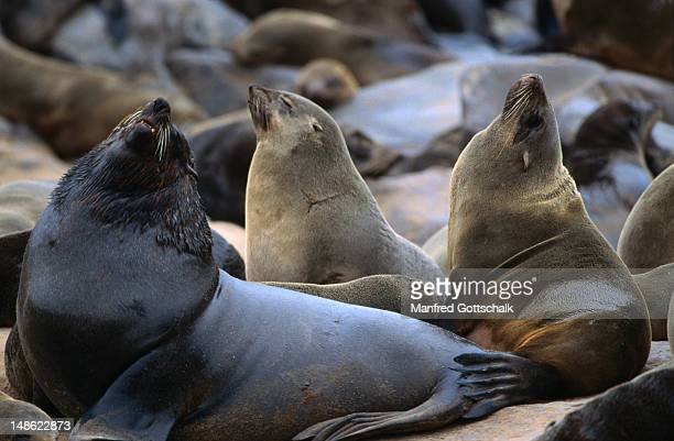 cape cross seal reserve, oshana - rookery stock pictures, royalty-free photos & images