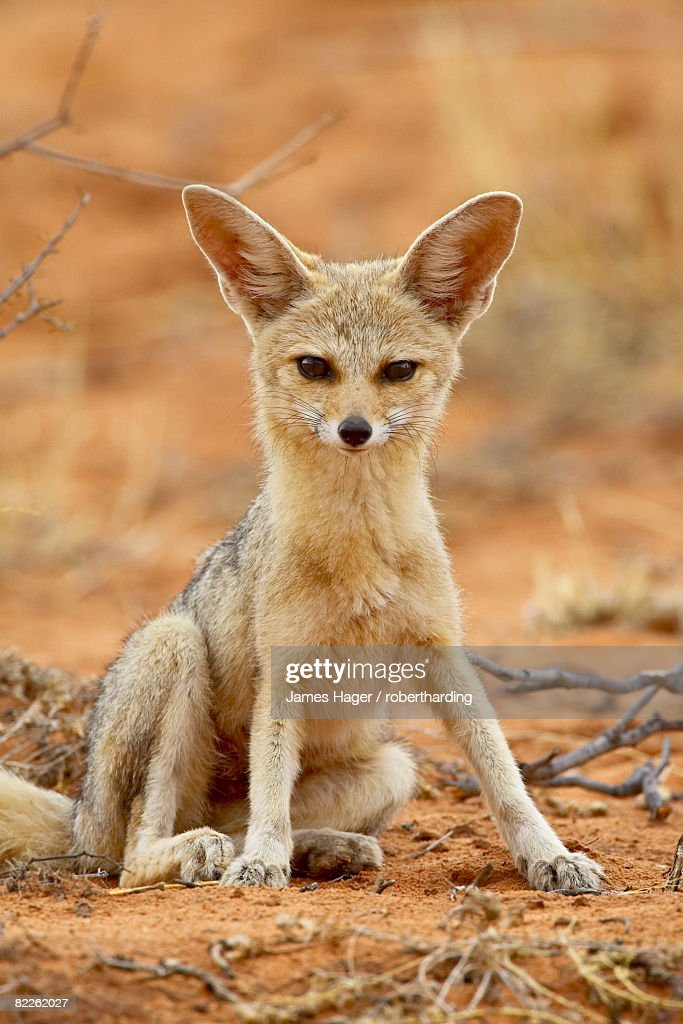 Cape fox (Vulpes chama), Kgalagadi Transfrontier Park, encompassing the former Kalahari Gemsbok National Park, South Africa, Africa : Stock Photo
