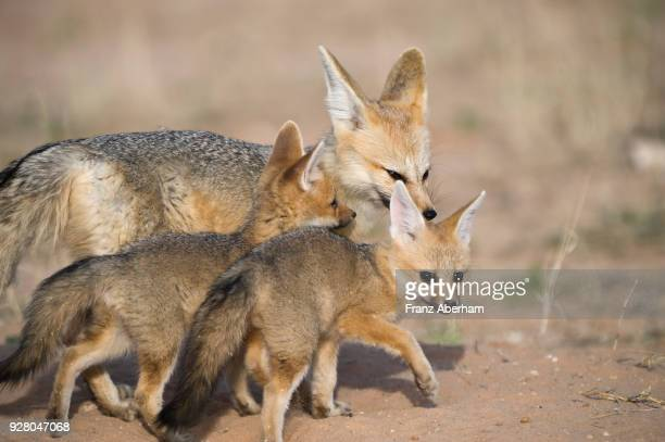cape fox kits and mother, kgalagadi transfrontier park, south africa - franz aberham foto e immagini stock