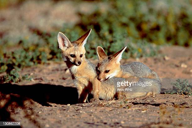Cape Foxes, Kalahari Gemsbok Park, South Africa / (Vulpes chama)