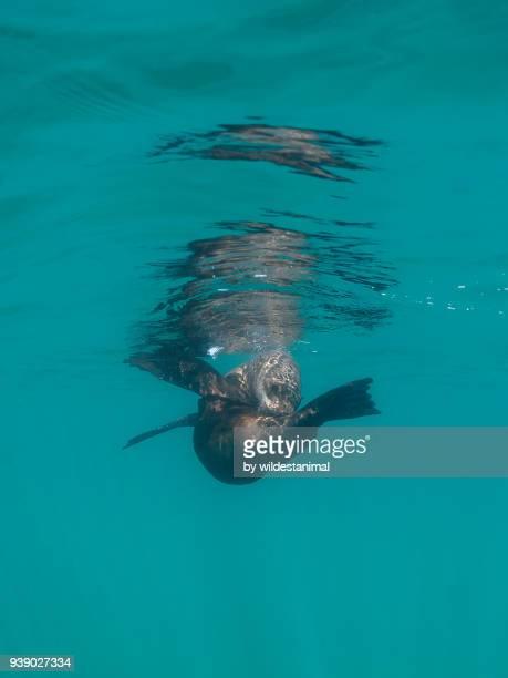 Cape fur seal preening itself, Walker Bay, South Africa.