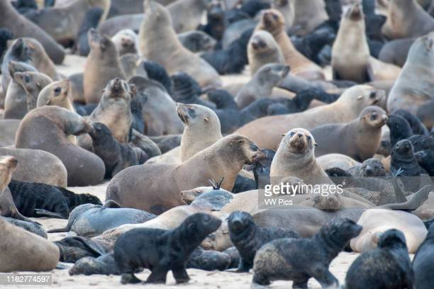 Cape fur seals are gathered and resting along the beaches of Cape Cross located in Namibia Africa The Cape Cross Seal Reserve is the largest...