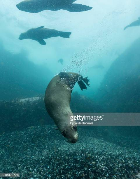 cape fur seals playing in the shallow water around their colony in false bay, south africa. - otaria del capo foto e immagini stock