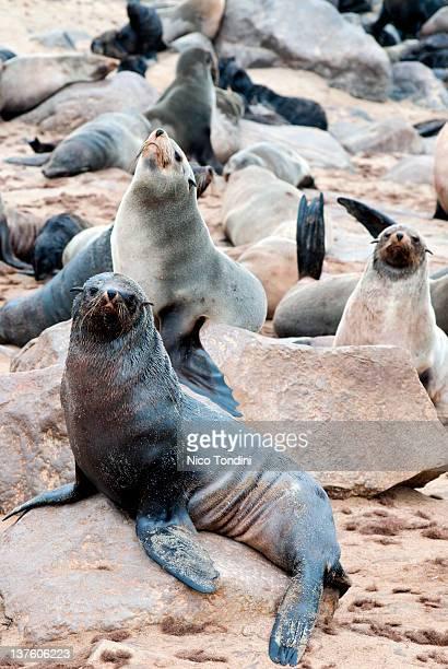 Cape Fur seals,Cape Cross,Namibia, Africa