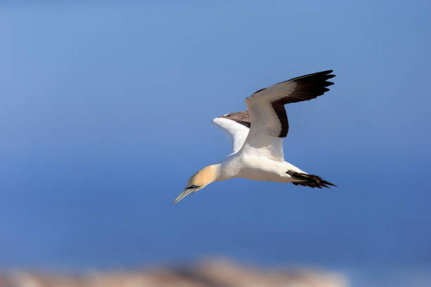 Cape Gannet, (Morus capensis), adult flying, Lamberts Bay, Western Cape, South Africa, Africa