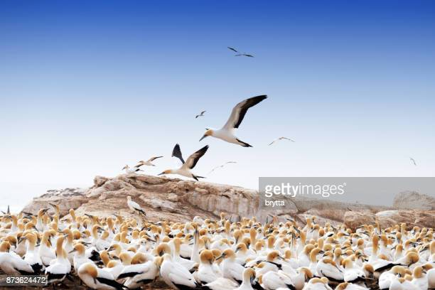 cape gannet breeding colony at the bird island nature reserve , lambert's bay , south africa - gannet stock photos and pictures
