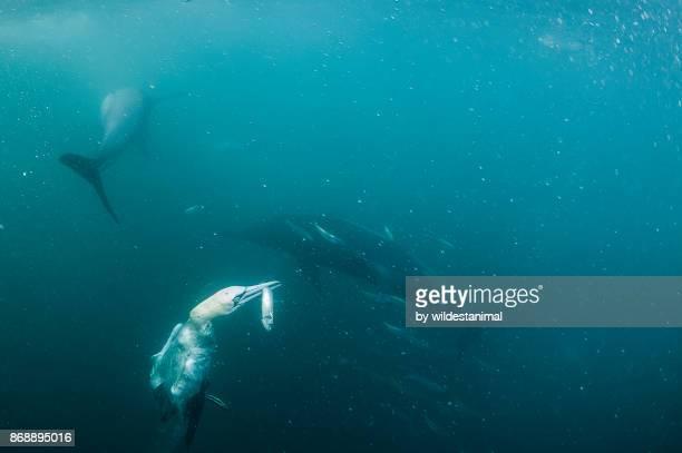 cape gannet has caught a sardine after diving into a sardine bait ball during the sardine run, wild coast, south africa. - jan van gent stockfoto's en -beelden