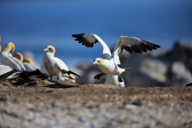 Cape Gannet, (Morus capensis), starts flying from colony, Lamberts Bay, Western Cape, South Africa, Afric