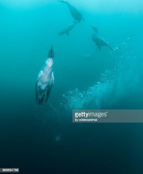 cape gannet swimming to the surface after it has swallowed a sardine which can be seen as the bulge in it's neck, sardine run, wild coast, south africa. - jan van gent stockfoto's en -beelden