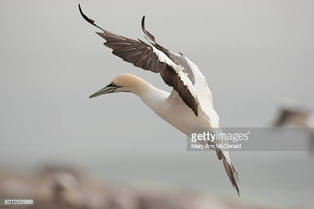 cape gannet taking off in flight - gannet stock pictures, royalty-free photos & images
