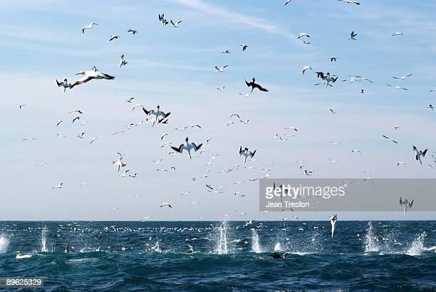 Cape Gannets dive into a sardine baitball
