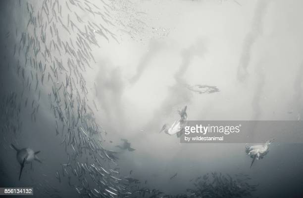 Cape gannets diving into a sardine bait ball to feed during the sardine run, Wild Coast, South Africa.