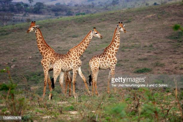 cape giraffe, (giraffa camelopardalis giraffa), adult three males social behaviour, hluhluwe umfolozi nationalpark, hluhluwe imfolozi nationalpark, kwazulu natal, south africa, africa - nationalpark stock pictures, royalty-free photos & images