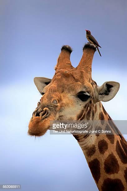 Cape giraffe