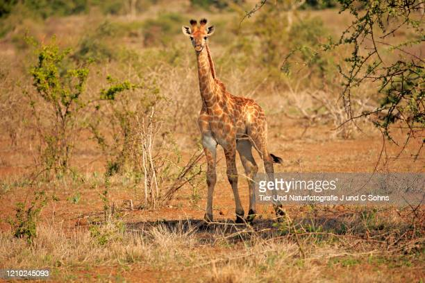 cape giraffe, (giraffa camelopardalis giraffa), young searching for food, kruger nationalpark, south africa, africa - nationalpark stock pictures, royalty-free photos & images