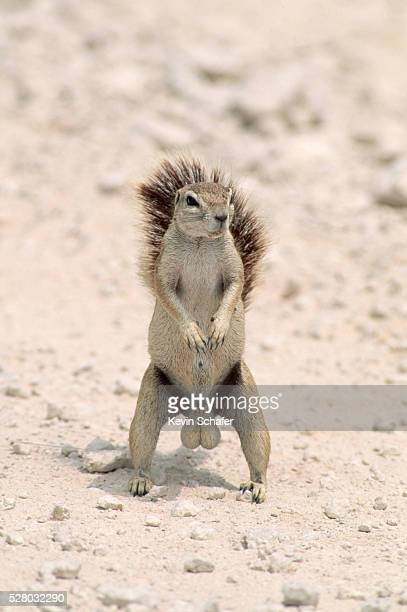 cape ground squirrel with large testicles - scroto foto e immagini stock