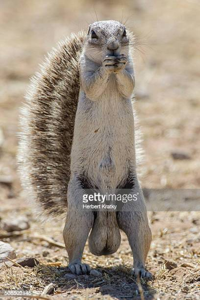 cape ground squirrel -xerus inauris-, etosha national park, namibia, africa - scroto foto e immagini stock