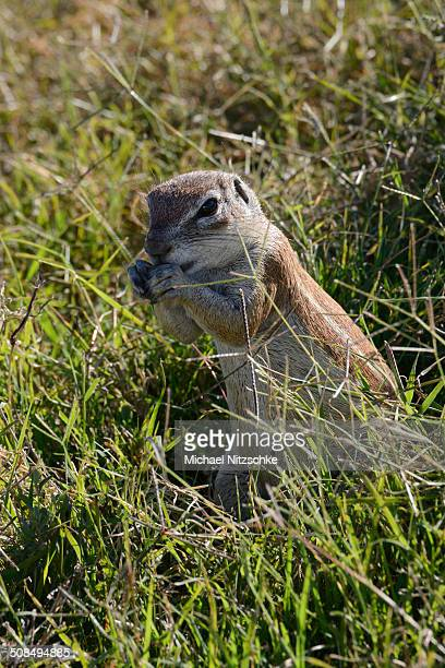 cape ground squirrel -xerus inauris-, mountain zebra national park, eastern cape, south africa - animal digestive system stock photos and pictures