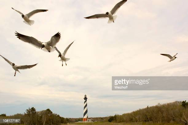cape hatteras seagulls - cape hatteras stock pictures, royalty-free photos & images