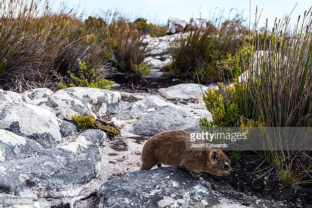 A Cape Hyrax moving through the fynbos on the summit of Table Mountain.
