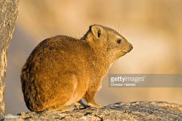 Cape Hyrax, Rock Hyrax or Rock Dassie (Procavia capensis) sitting on a rock, Augrabies Falls National Park, South Africa, Africa