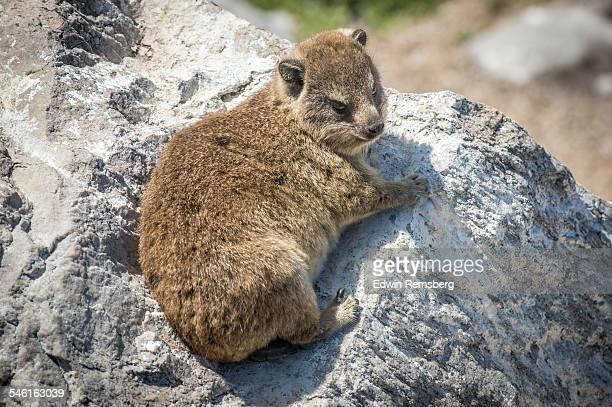 Cape hyrax sunbathing