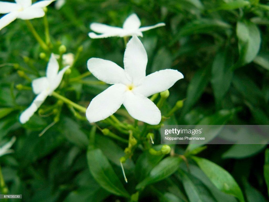 Cape jasmine or gardenia jasmine flower gardenia angusta stock photo cape jasmine or gardenia jasmine flower gardenia angusta stock photo izmirmasajfo
