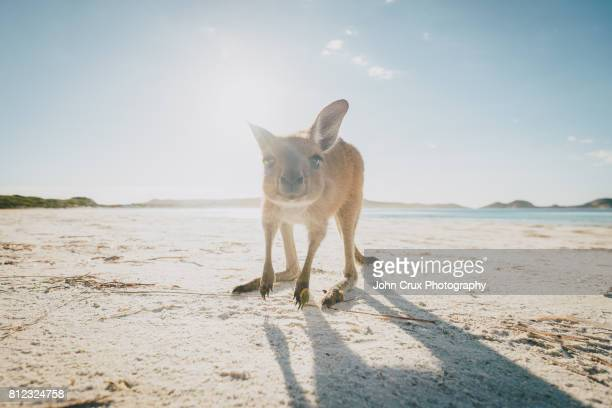 Cape le grand kangaroo
