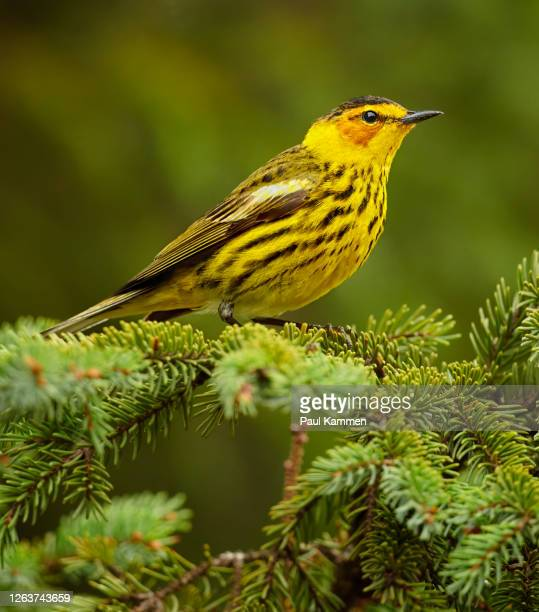 cape may warbler - warbler stock pictures, royalty-free photos & images