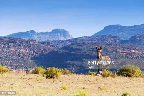 cape mountain zebra in the cederberg mountains area , south africa - western cape province stock pictures, royalty-free photos & images