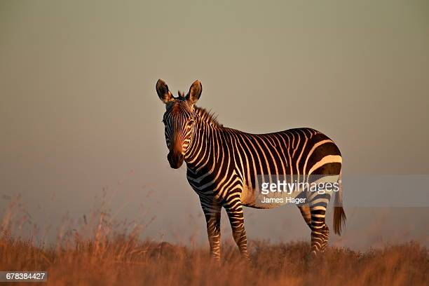 Cape mountain zebra (Equus zebra zebra), Mountain Zebra National Park, South Africa, Africa
