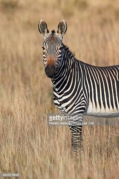 Cape Mountain Zebra (Equus zebra zebra), Mountain Zebra National Park, South Africa