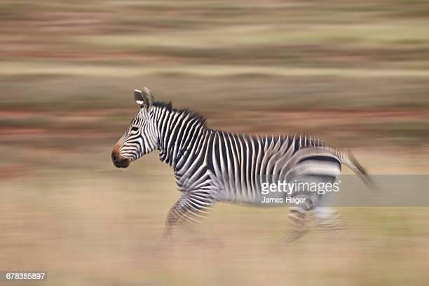 Cape mountain zebra (Equus zebra zebra) running, Mountain Zebra National Park, South Africa, Africa