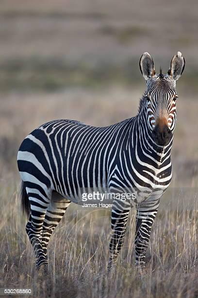 Cape mountain zebra (Equus zebra zebra) stallion, Mountain Zebra National Park, South Africa, Africa