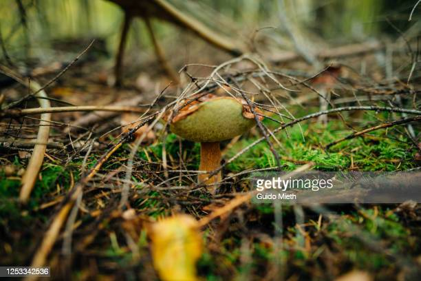 cape mushroom growing in a forest. - guido mieth stock pictures, royalty-free photos & images