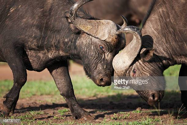 Cape or African Buffalo males fighting