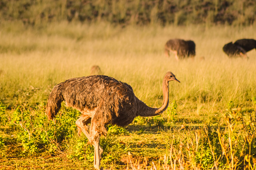 Cape Ostrich walking freely in a field in South Africa 1189613890