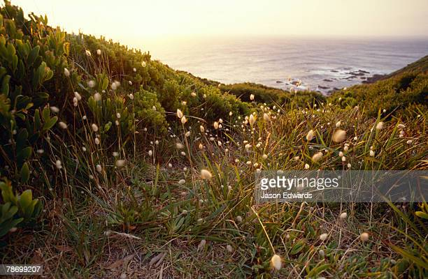 Coastal flowers atop a hill overlooking a calm ocean at sunset.