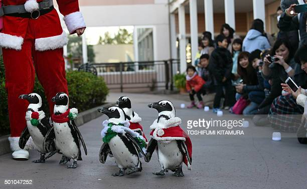 Cape penguins also known as African or jackass penguins dressed in Christmas costumes walk beside visitors taking photos during a Christmas event at...