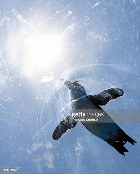 Cape penguins swim at a tank located in the rooftop terrace during a press preview of the Sunshine Aquarium on July 5 2017 in Tokyo Japan The...