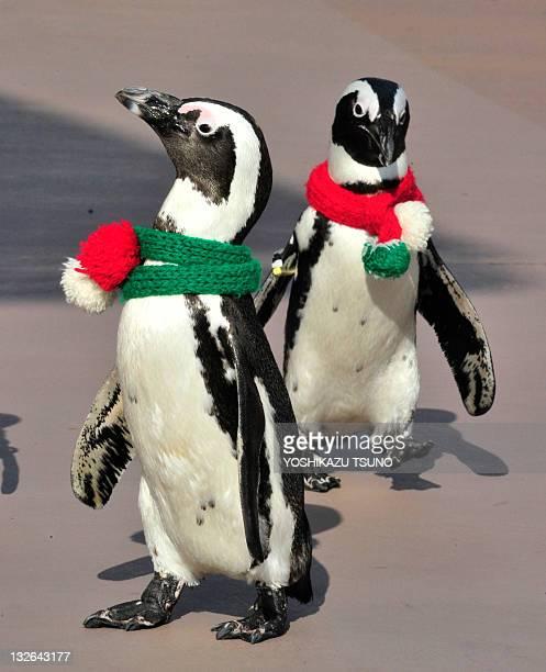 Cape Penguins wearing Christmas costumes take part in a Christmas event at the Hakkeijima Sea Paradise aquarium in Yokohama suburban Tokyo on...