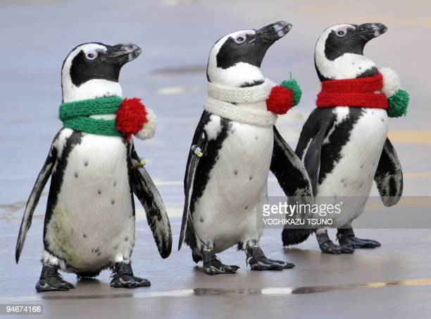 Cape penguins wearing Christmasstyle scarves walk together at the Hakkeijima Sea Paradise aquarium in Yokohama suburban Tokyo on December 17 2009 A...