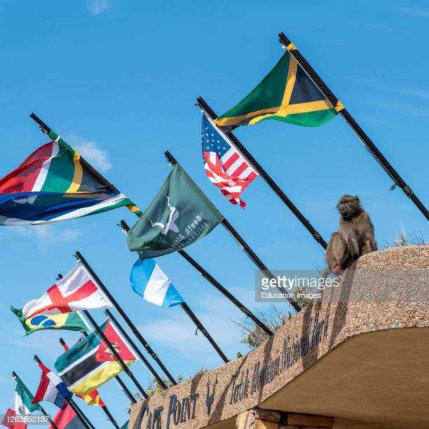 Cape Point, Western Cape, South Africa, A Chacma baboon among flags at Cape Point in the Table Mountain National Park. .