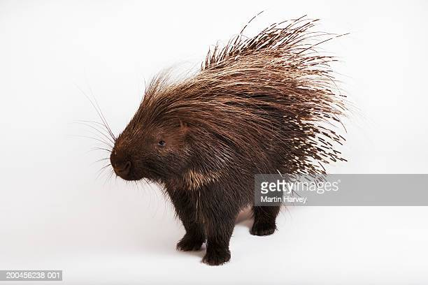 cape porcupine (hystrix africaeaustralis) against white background - porcupine stock photos and pictures