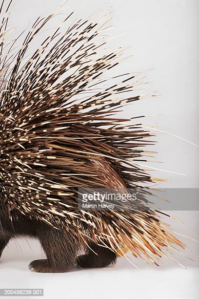 cape porcupine (hystrix africaeaustralis), low section - porcupine stock photos and pictures