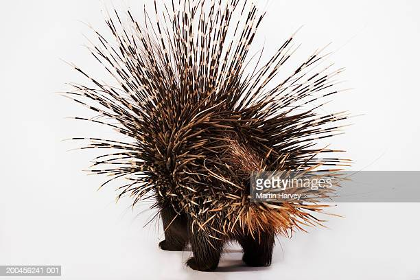 cape porcupine (hystrix africaeaustralis), rear view - porcupine stock photos and pictures