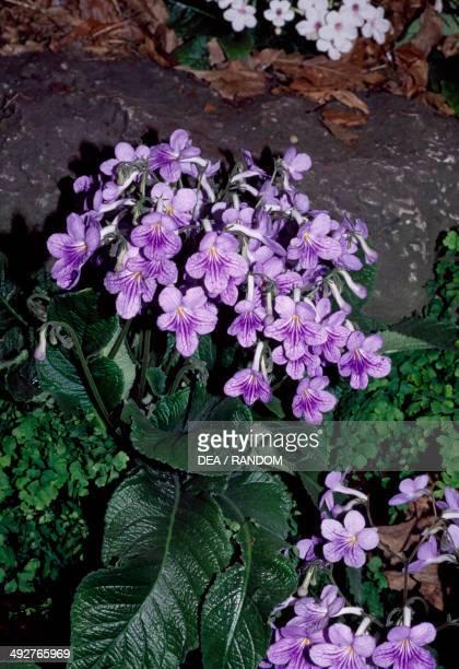 Cape Primrose Gesneriaceae