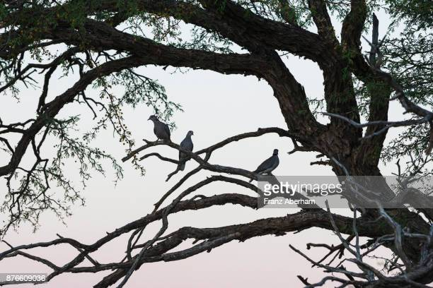 cape turtle dove in tree, nossob wadi, kgalagadi transfrontier park, south africa - turtle doves stock photos and pictures
