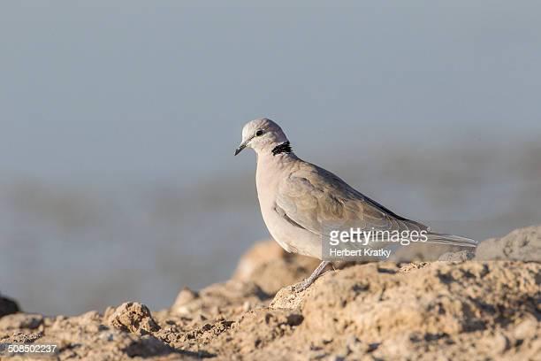 cape turtle dove -streptopelia capicola-, etosha national park, namibia, africa - turtle doves stock photos and pictures