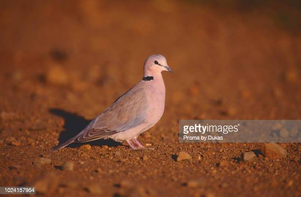 Cape Turtle Dove Streptopelia capicola
